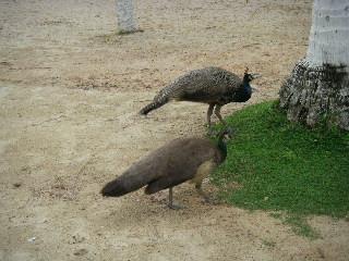 セントーサ島にいた鳥