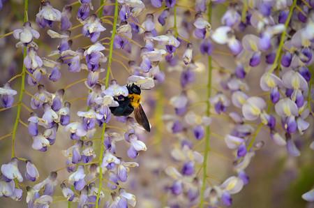 1405クマバチの蜜集め02
