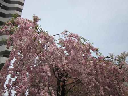 4枝垂桜も美しく