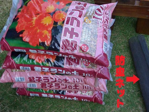 君子蘭の植え替え