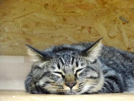 シャー「もうぼく寝る」