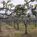 梨の花も咲き始めています。