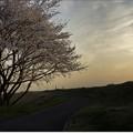 夕暮れ桜 III