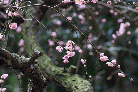 2009.03.07 報国寺 紅梅