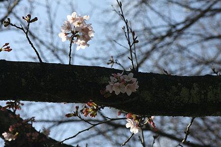 2009.03.20 Yokohamaさくら咲く♪