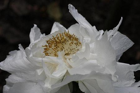 2009.03.21 鶴岡八幡宮 神苑 牡丹-1