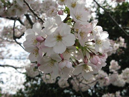 2009.04.04 さくら咲く~♪