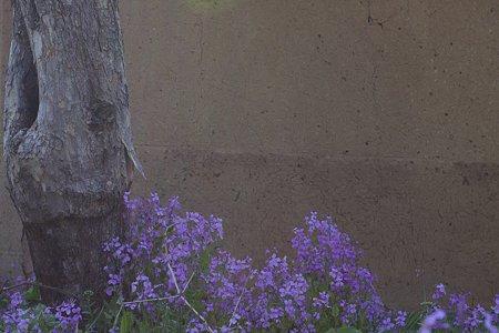 2009.04.11 塩山 土塀にハナダイコン