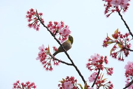 2014.04.11 和泉川 サクラにメジロ