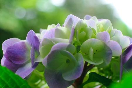 2014.06.21 瀬谷市民の森 アジサイ