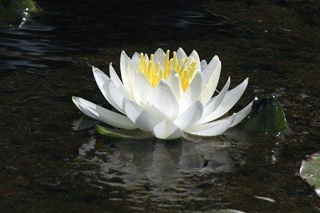 2009.05.23 米沢 上杉伯爵邸 睡蓮