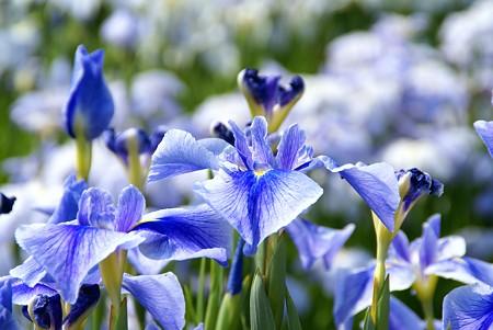 透き通るような青の群れ・・