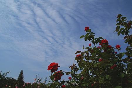 秋の空と・・赤いバラ