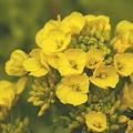 写真: 温もり Yellow~♪ 菜の花 Fantasy・・24