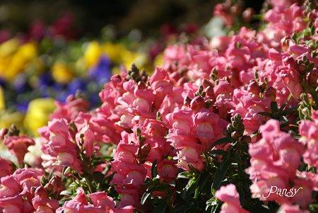 冬の春花壇~♪