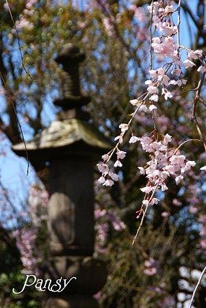 鎌倉 桜夢・・9