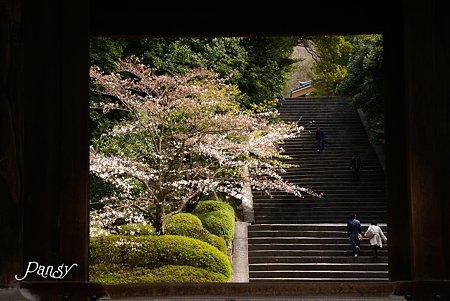 京都 桜さんぽ~4 知恩院にて・・