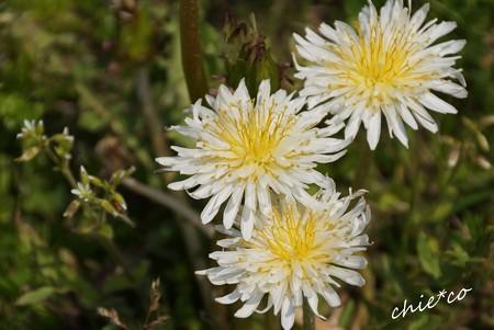 白花たんぽぽ・・
