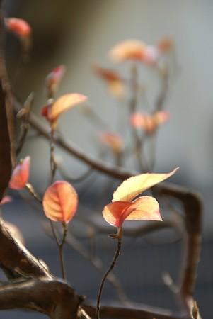 姫シャラの葉っぱたち・・・