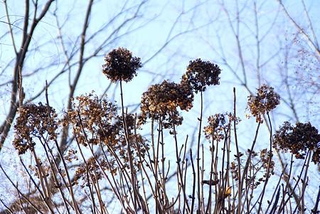冬景色  紫陽花と‥樹と・・