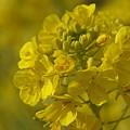 写真: 菜の花~♪ 吾妻山公園にて・・