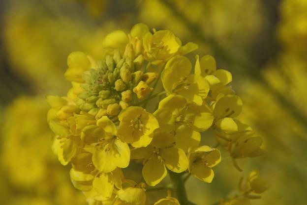 写真: 菜の花~~♪