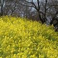 写真: 菜の花畑~♪