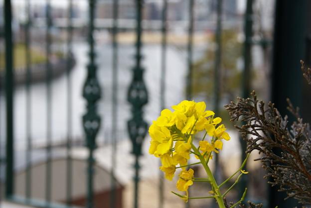 写真: 菜の花と・・海と・・♪