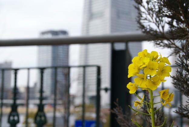 写真: 菜の花と・・ビルと・・♪