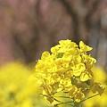 写真: 菜の花も満開~ 三浦の河津桜~♪