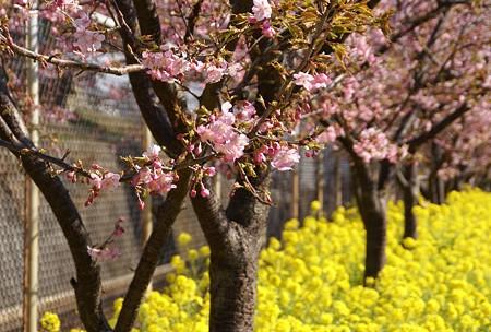 三浦の河津桜~♪