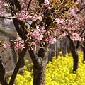 写真: 三浦の河津桜~♪