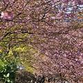 写真: 翼を広げるように・・さくら。桜。。