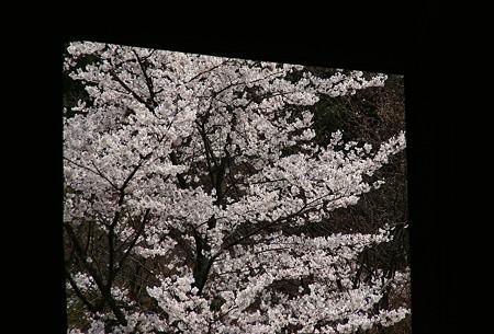 京都 桜さんぽ 14