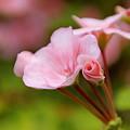 Photos: ピンク。。。♪