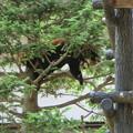 木の上で就寝-メイメイ-