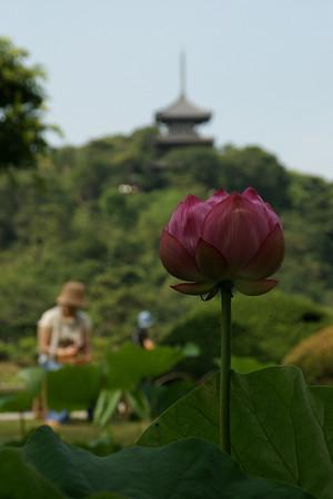 蓮の花と四重の塔0712te