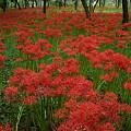 Photos: 曼珠沙華の花畑。0920e