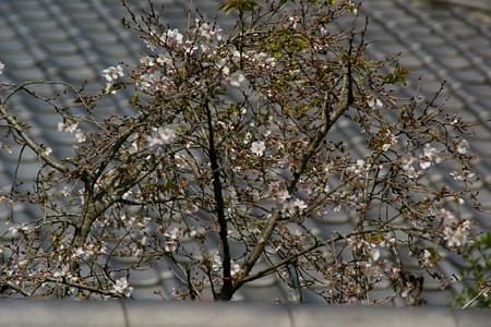 十月桜が咲きだした、東慶寺。(10/4)