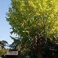 写真: 見事なイチョウ、鎌倉/安国論寺。(11/01)