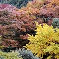 写真: 黄葉の鎌倉1109k