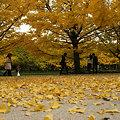 Photos: イチョウ並木の落ち葉。(11/15)