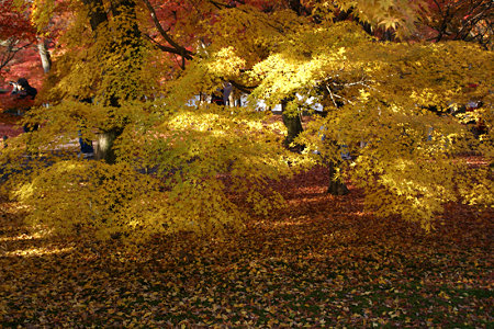 東福寺黄金の紅葉1129k