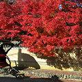 写真: 紅葉真っ盛り、出番待ちの人力車。