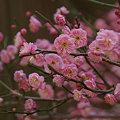 Photos: 淡紅梅の花が勢揃い。
