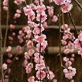 写真: ピンクの枝垂れ梅0211s
