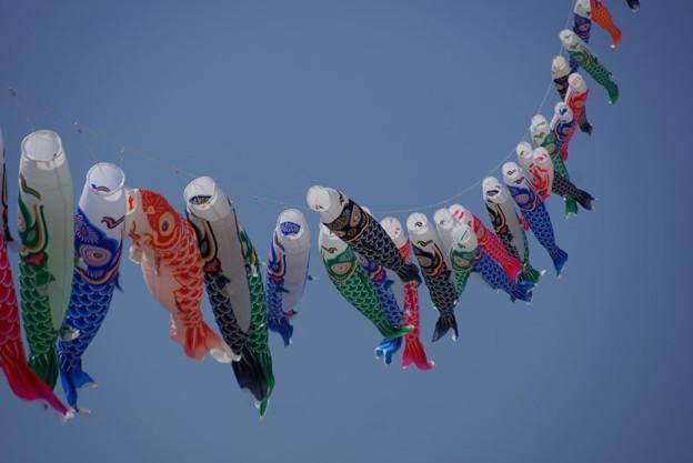 鯉のぼりがいっぱい、由比ヶ浜!14