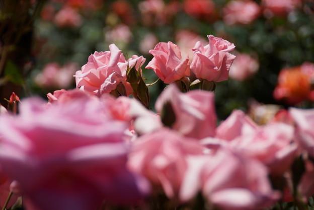 淡いピンクのプリンセスアイコ2014