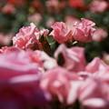写真: 淡いピンクのプリンセスアイコ2014