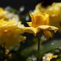 清楚な黄色いバラ2014